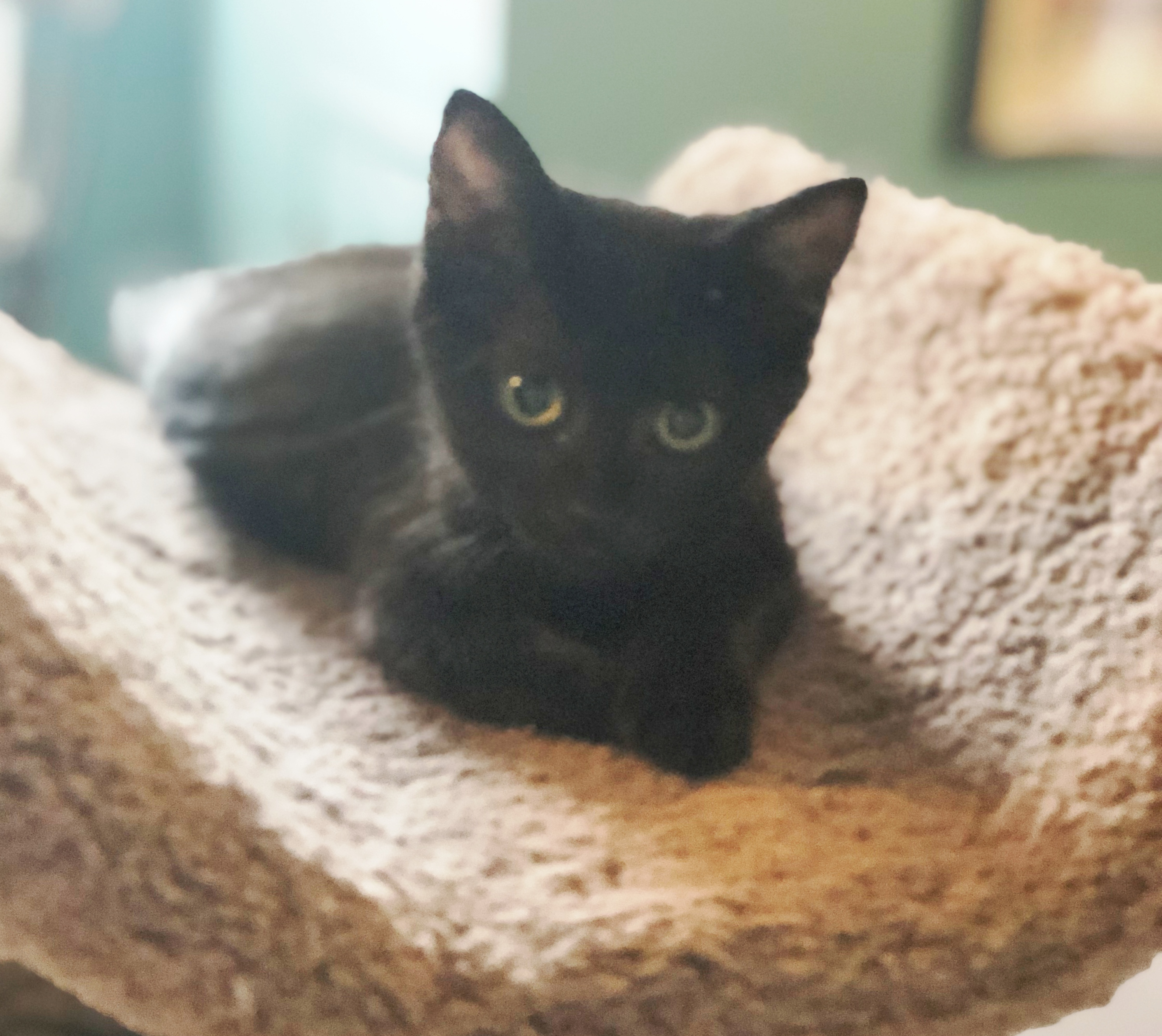 57cc4a75e Jellybean is another miracle Purr Partner Kitty. She came to us as a 2-day  old orphaned bottle baby that needed constant care for the first ...